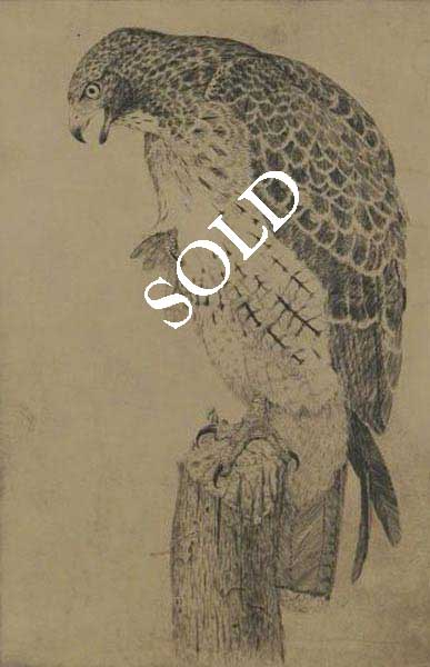 Etching- Red tailed Hawk by Sheridan Oman